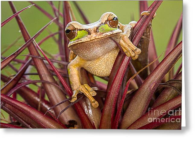 Tree Frog Greeting Cards - Masked Tree Frog Greeting Card by Todd Bielby