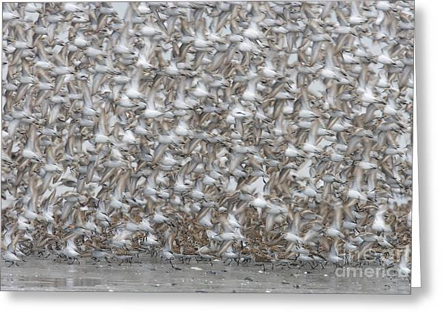 Takeoff Greeting Cards - Mass Takeoff- Western Sandpipers Greeting Card by Tim Grams