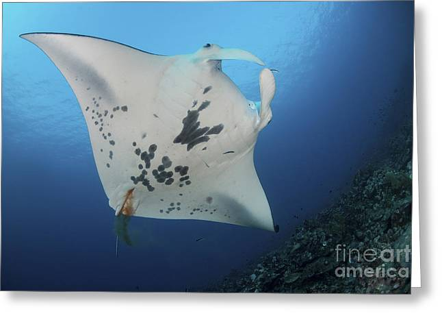 Ray Fish Greeting Cards - Massive White-bellied Reef Manta Ray Greeting Card by Mathieu Meur