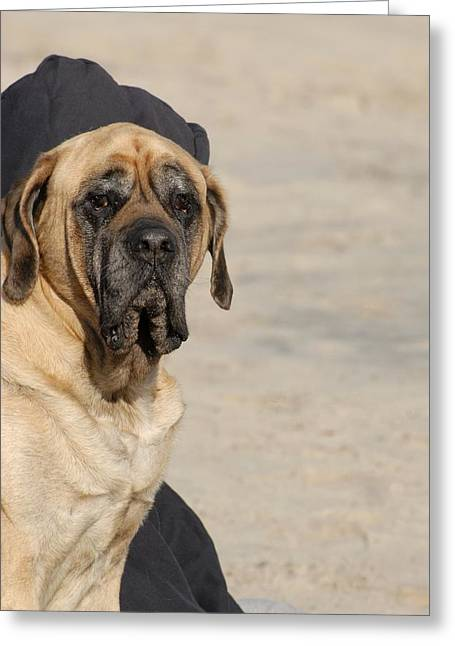 Recently Sold -  - Litter Mates Greeting Cards - Mastiff 84 Greeting Card by Joyce StJames