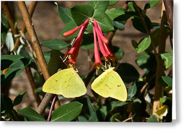 Sulfur Greeting Cards - Matched pair of sulfur butterflies Greeting Card by Douglas Barnett