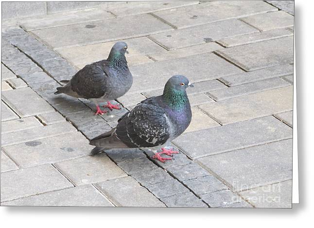 Pairs Greeting Cards - Mated Pigeons Greeting Card by Donna Munro