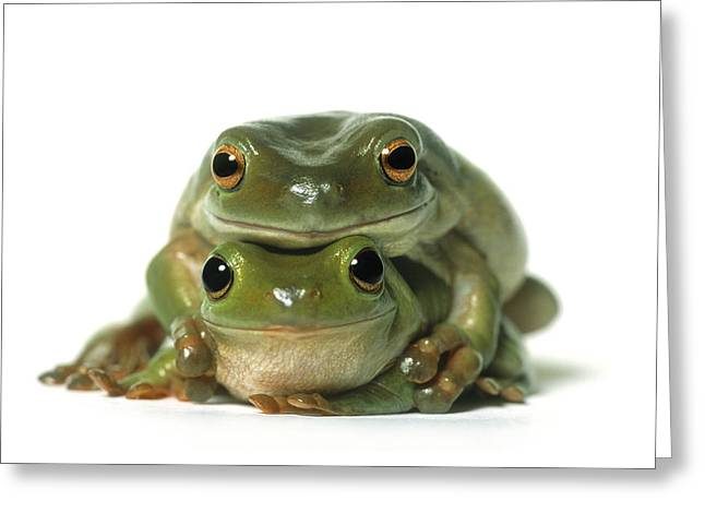 Mating Frogs Greeting Card by Darwin Wiggett