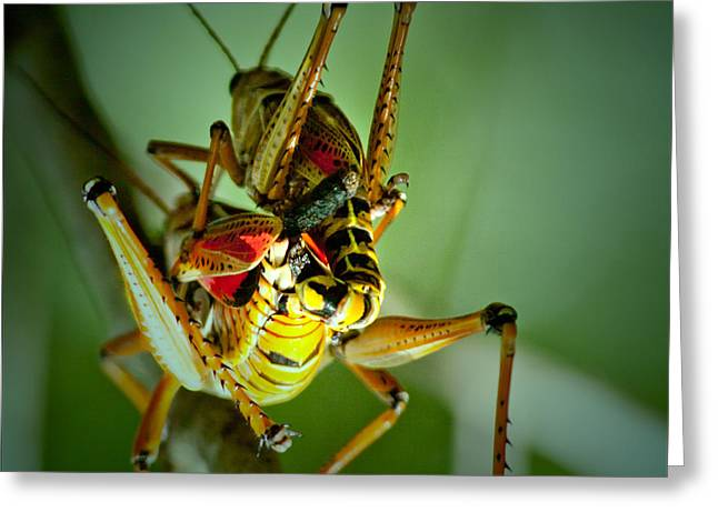 Romalea Microptera Greeting Cards - Mating Lubbers Greeting Card by Edelberto Cabrera