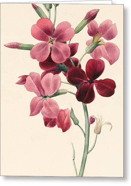 Matthiola Greeting Card by Louise D'Orleans