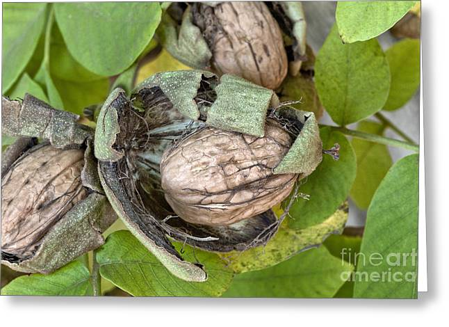 Mature English Walnuts On Branch Greeting Card by Inga Spence