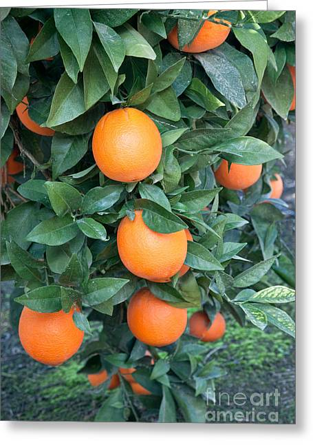 California Agriculture Greeting Cards - Mature Fukimoto Oranges Greeting Card by Inga Spence