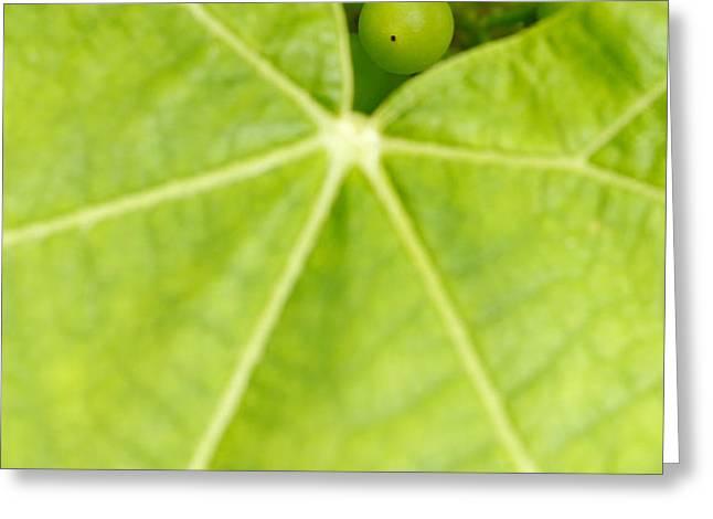 Maturing wine grapes Greeting Card by Gaspar Avila