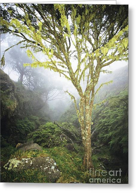 Moist Greeting Cards - Maui Moss Tree Greeting Card by Erik Aeder - Printscapes