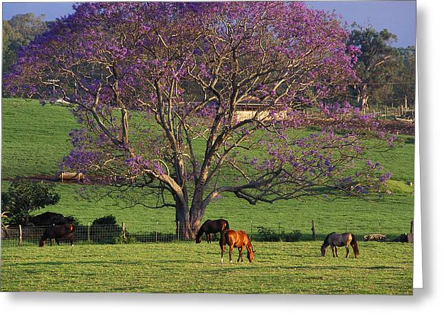 Jacaranda Greeting Cards - Maui, Upcountry Greeting Card by Ron Dahlquist - Printscapes