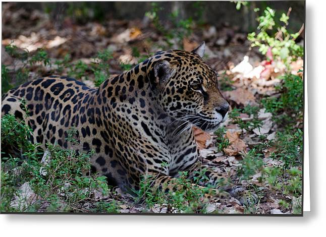 Jaguars Greeting Cards - Maya Greeting Card by Karey  Hestekin