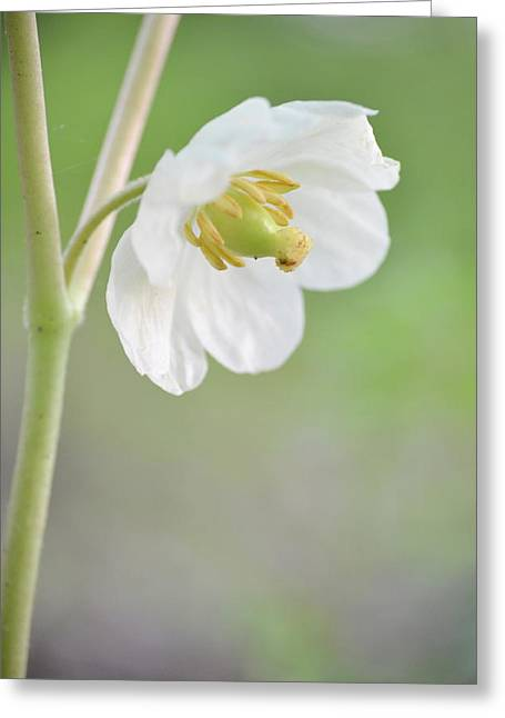 Mayapple Flower Greeting Card by JD Grimes