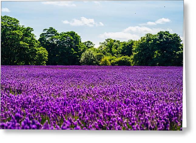 Mayfield Lavender Greeting Card by Britten Adams
