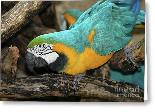 Mccaw Greeting Cards - McCaw Parrot Greeting Card by Sabrina L Ryan