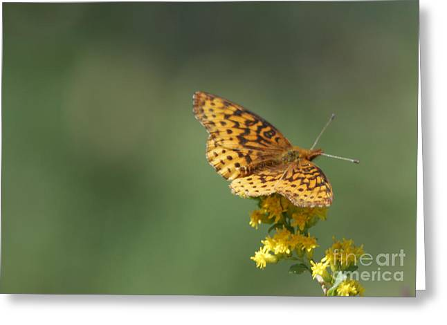 Randolph County Greeting Cards - Meadow Fritillary Greeting Card by Randy Bodkins