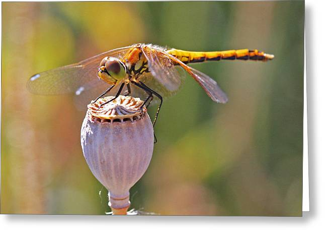 Meadowhawk Greeting Cards - Meadowhawk Female Greeting Card by Gary Wing