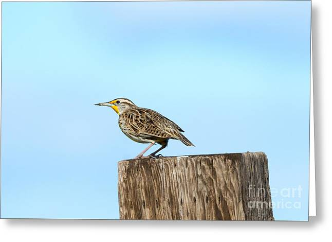 Meadowlark Roost Greeting Card by Mike Dawson