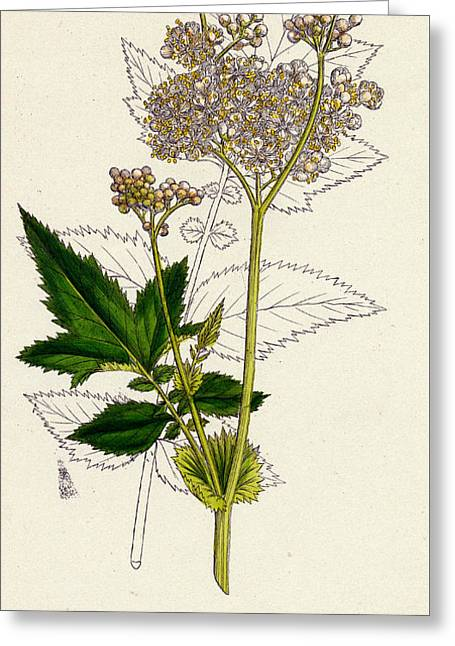 Meadowsweet Or Mead Wort Greeting Card by Unknown