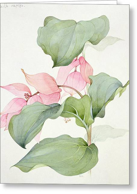 Bract Greeting Cards - Medinilla magnifica Greeting Card by Sarah Creswell