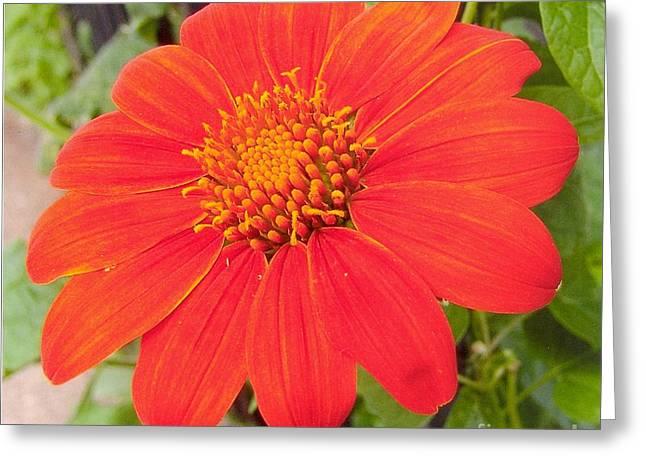 Daliha Greeting Cards - Medium Orange Daliha Greeting Card by Rod Ismay