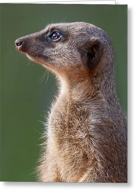Meerkat Centurion Greeting Card by Julie L Hoddinott