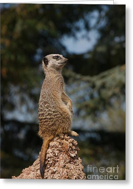Aleksandr Greeting Cards - Meerkat On The Rocks Greeting Card by Mickey At Rawshutterbug
