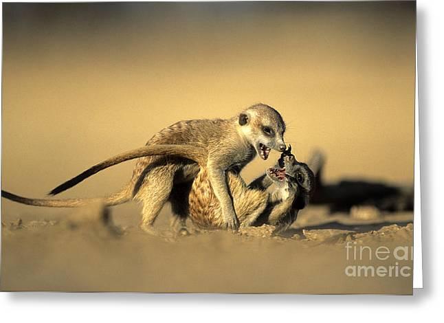 Meerkat Photographs Greeting Cards - Meerkats Greeting Card by Nigel J. Dennis