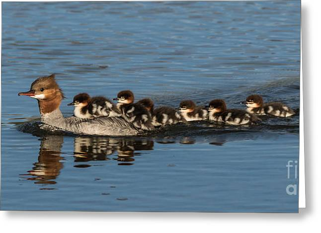 Recently Sold -  - Merging Greeting Cards - Meet The Mergansers Greeting Card by Mitch Shindelbower