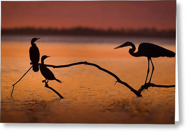 Cormorants Greeting Cards - Meeting At Sunset Greeting Card by Jean-luc Besson
