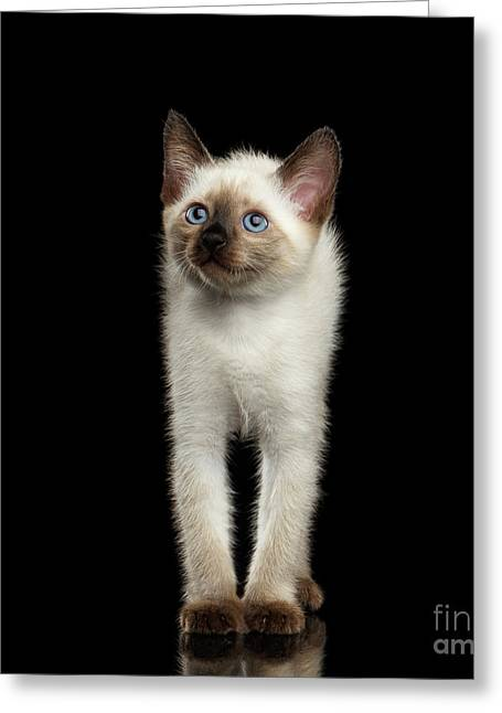 Mekong Bobtail Kitty With Blue Eyes On Isolated Black Background Greeting Card by Sergey Taran