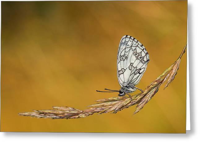Flying Animal Greeting Cards - Melanargia galathea Greeting Card by Rostislav Kralik