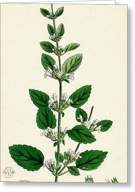 Melissa Officinalis Common Balm Greeting Card by Unknown
