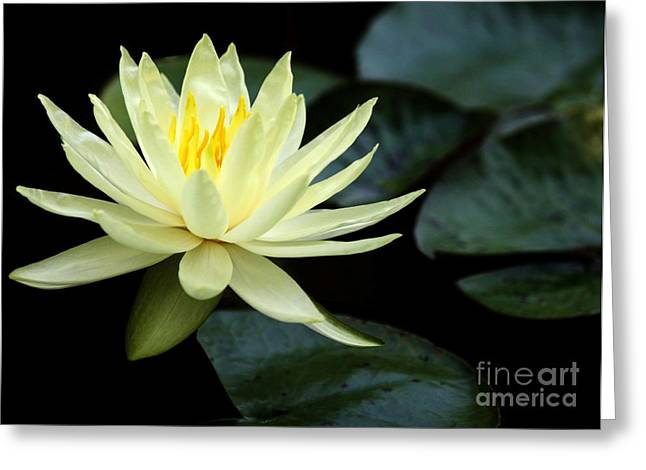 Water Garden Greeting Cards - Mellow Yellow Water Lily Greeting Card by Sabrina L Ryan