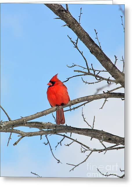 Mendon Greeting Cards - Mendon Ponds Cardinal - 4 Greeting Card by Wayne Sheeler