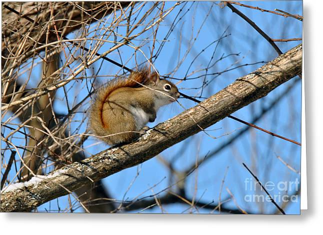 Mendon Greeting Cards - Mendon Ponds Red Squirrel Greeting Card by Wayne Sheeler