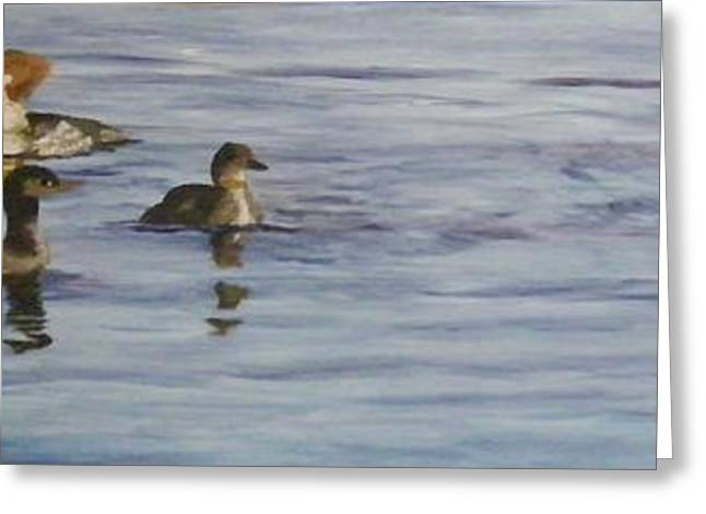 Mergansers Join In Greeting Card by Terry Honstead