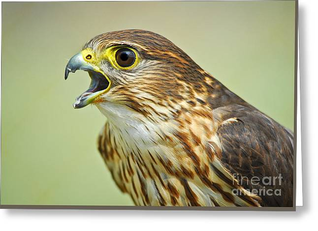 Nature Study Greeting Cards - Merlin Falcon Greeting Card by Timothy Flanigan