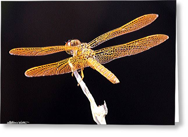 Amberwing Greeting Cards - Mexican Amberwing Dragonfly Greeting Card by Stephanie Salter