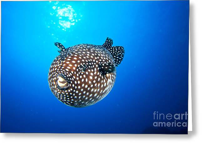 Puffer Greeting Cards - Mexico Guineafowl Puffer Greeting Card by Dave Fleetham - Printscapes