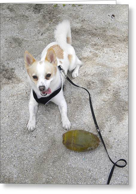 Dog Play Beach Greeting Cards - Miami Nut Greeting Card by Mandy Shupp
