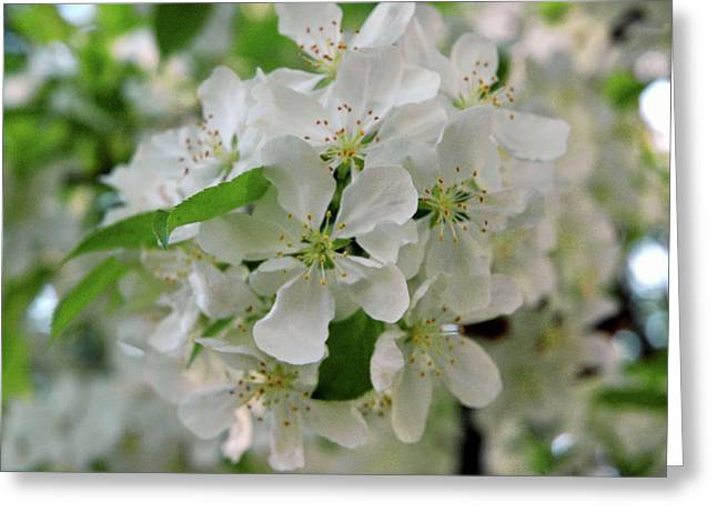 Wild Orchards Greeting Cards - Michigan State Flower Greeting Card by LeeAnn McLaneGoetz McLaneGoetzStudioLLCcom