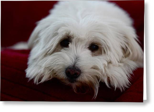 Puppies Photographs Greeting Cards - Mickey the Button  Greeting Card by Lin Krstic