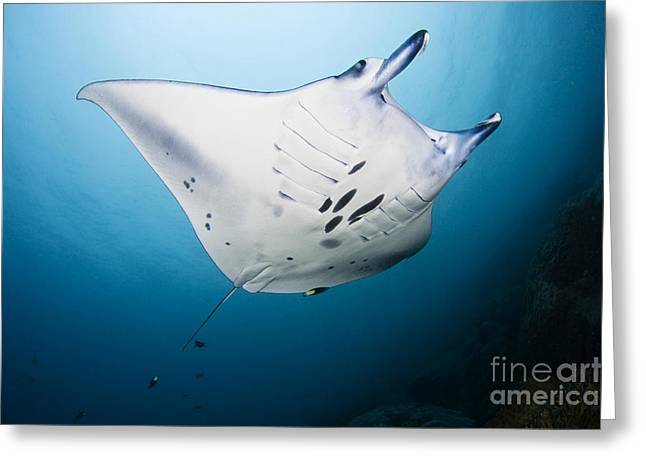 Yapping Greeting Cards - Micronesia Manta Ray Greeting Card by Dave Fleetham - Printscapes