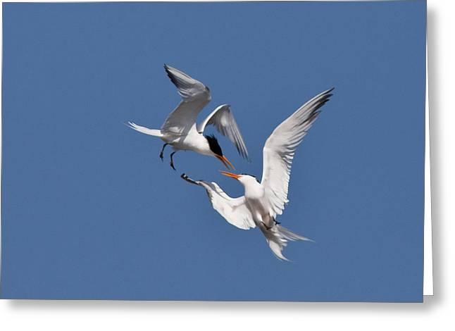Mid air tern battle Greeting Card by Carl Jackson