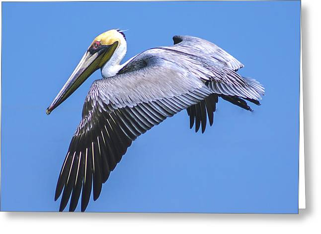 Mid Span Greeting Cards - Mid Flight Pelican Greeting Card by Michael Frizzell