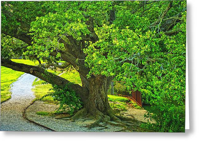 Many Greeting Cards - Mighty Oak  Greeting Card by Olahs Photography