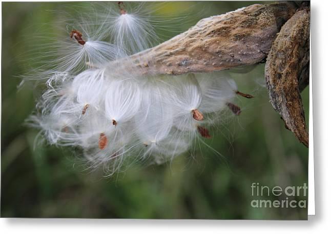 Swamp Milkweed Greeting Cards - Milkweed Pods Greeting Card by Janet Pugh