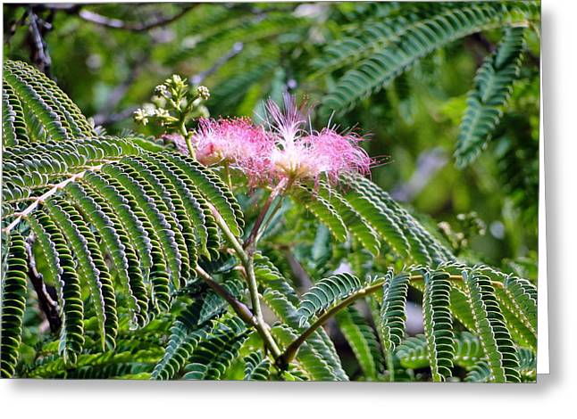 Mimosa Flowers Greeting Cards - Mimosa Flower Greeting Card by Liz Vernand