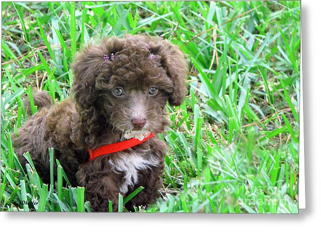 Toy Dog Greeting Cards - Mimzy The Toy Poodle Greeting Card by Sabrina Wheeler