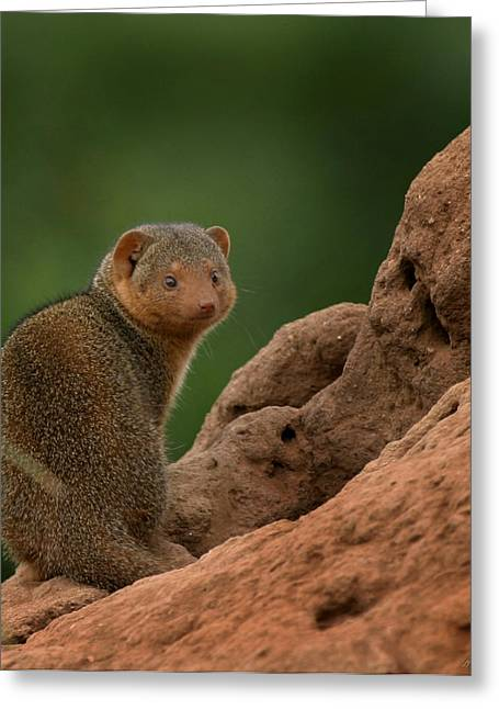 Mound Greeting Cards - Mini Mongoose Greeting Card by Joseph G Holland